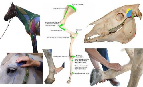 Free Online Equine Anatomy Class With Equinology The Equinest Free