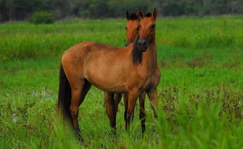 Sunicho Horse