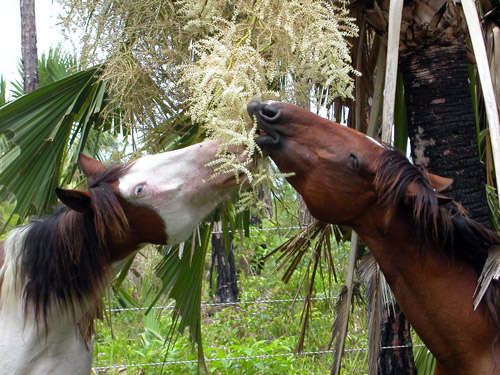 Abaco Barb Horses
