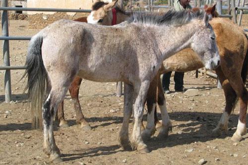 Oromo Horse