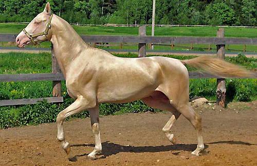 http://www.theequinest.com/images/akhal-teke-stallion.jpg