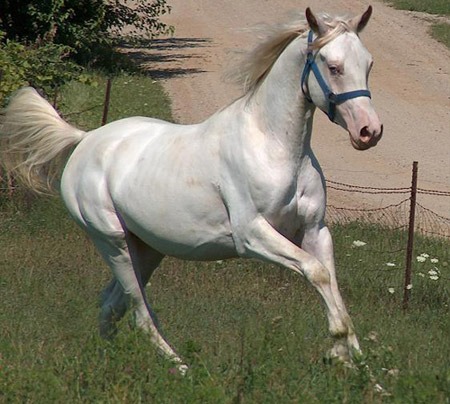 American Albino Horse