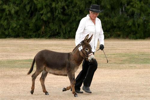 American Miniature Mediterranean Donkey