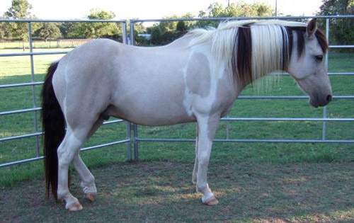 Peruvian Paso Horse Breed