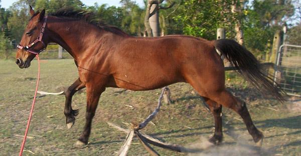 American Standardbred Horse