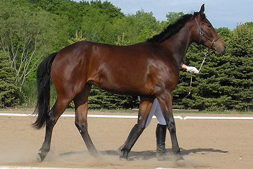 American Warmblood Horse