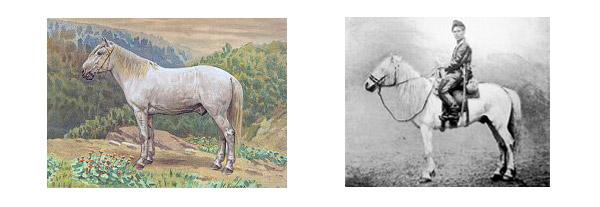Amur Horse