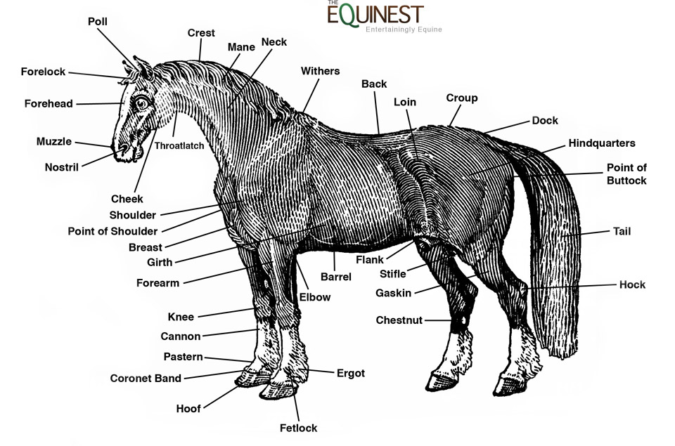 anatomy 960 horse anatomy the equinest