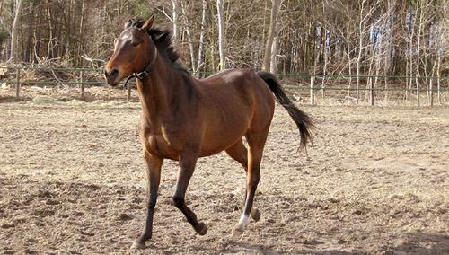 Anglo-Arabian Horse