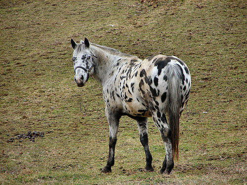 appaloosa horse