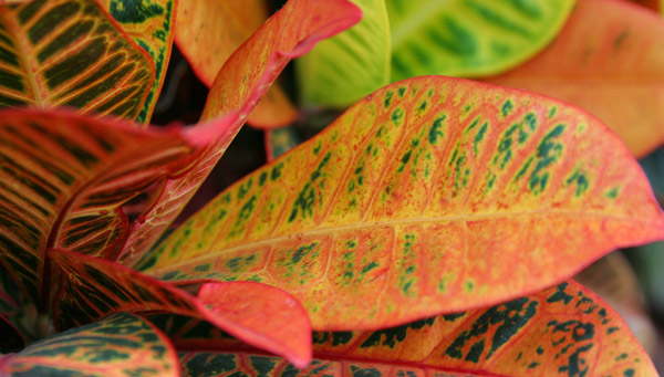 Apple leaf croton