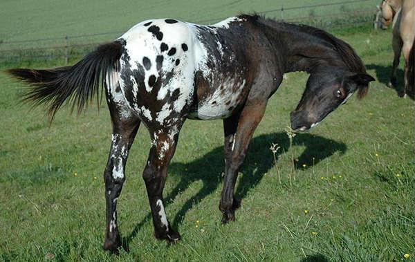 Blanket Appaloosa Horse