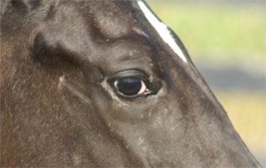 Appaloosa White Sclera