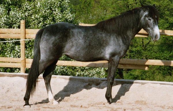 Arabian-Berber
