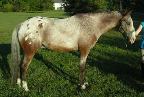Arappaloosa Horse