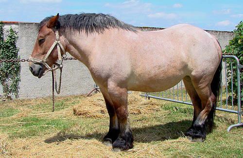French Ardennais Horse