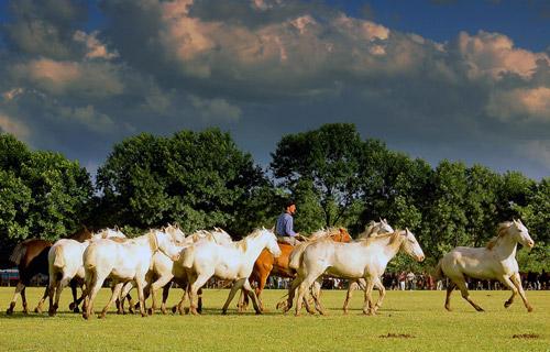 Argentine Criollo Horse
