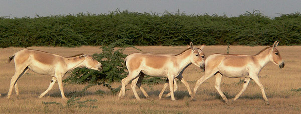 Asiatic Wild Ass