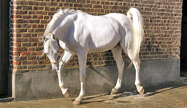 Asil Horse