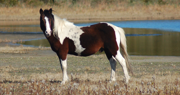 Assateague - Chincoteague Pony