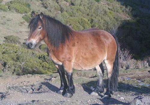 Asturcón Horse