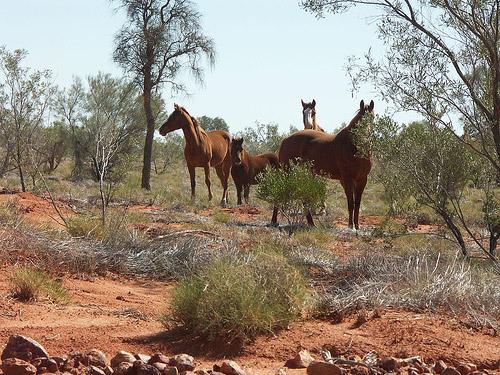 Horses in Australia