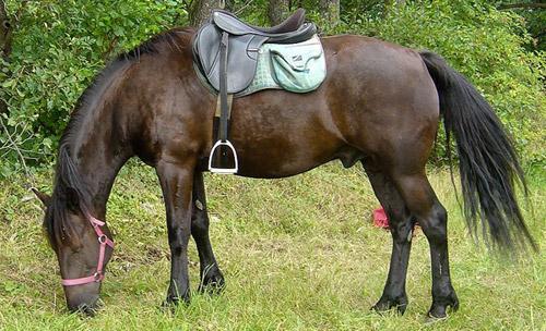 Auvergne Horse