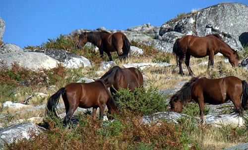 Azores Horse