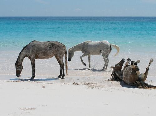 Horses on the beach in The Bahamas