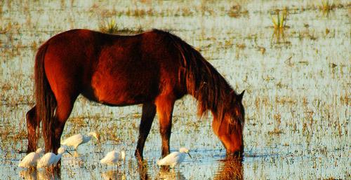 Baixadeiro Horse