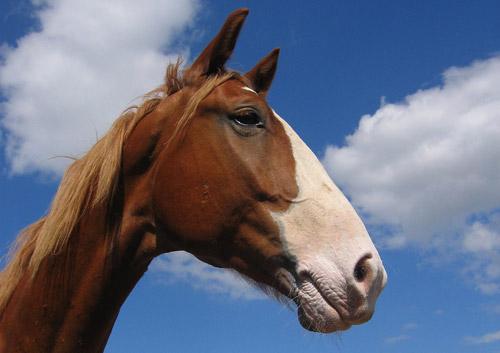 Apron Face Horse