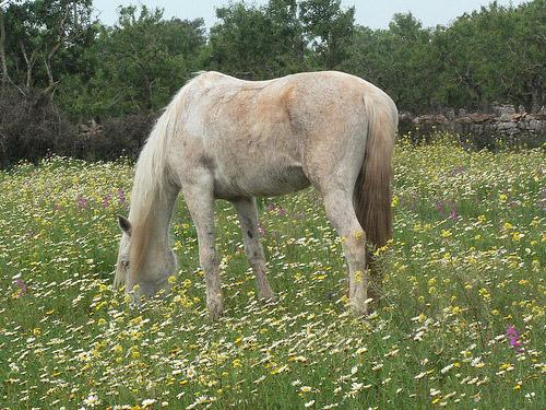 Balearic Horse