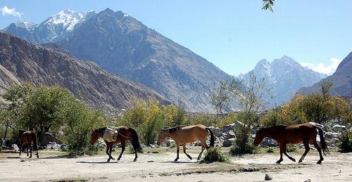 Baluchi Horse