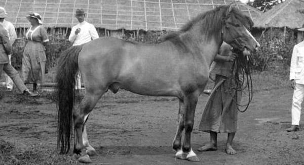 Batak Pony