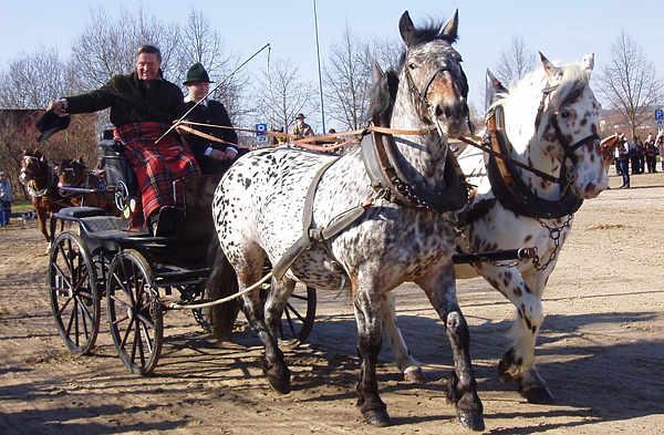 Bay Appaloosa Horse