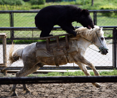 A bear riding a galloping horse