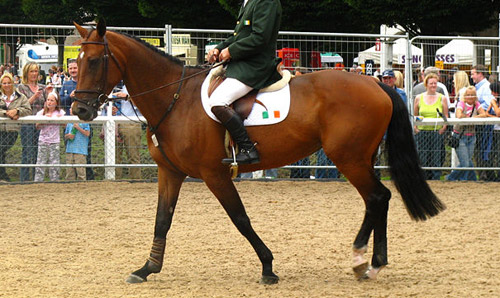 Belgian Warmblood Horse