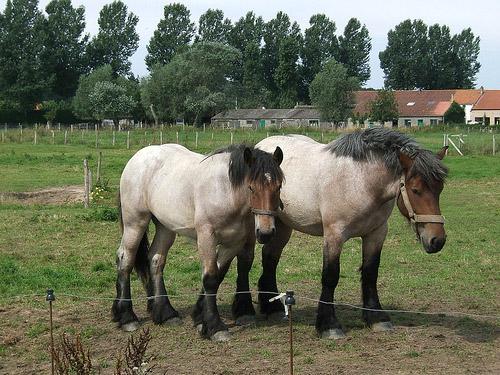 Horse in Belgium