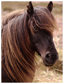 Horse with big hair