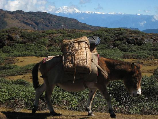 bhutan-horse
