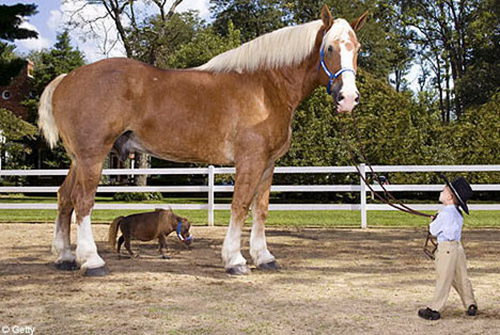The largest and smallest horses in the world together