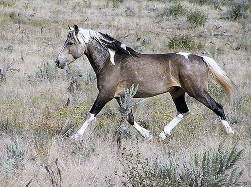 Grulla Paint Stallion