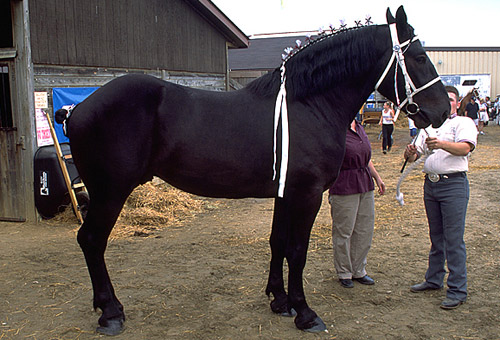 Non-Fading Black Horse