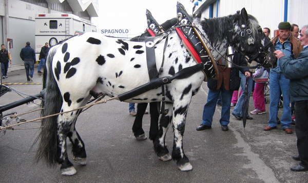 Black Appaloosa Horse