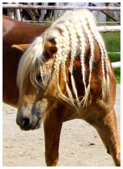 Palomino horse with braided mane