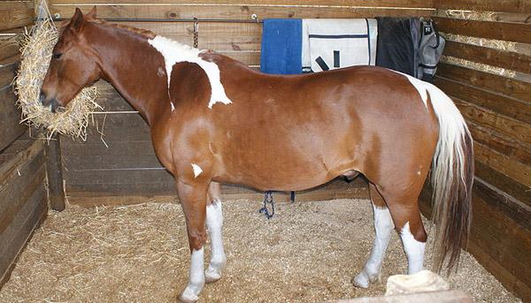 Boer Horse