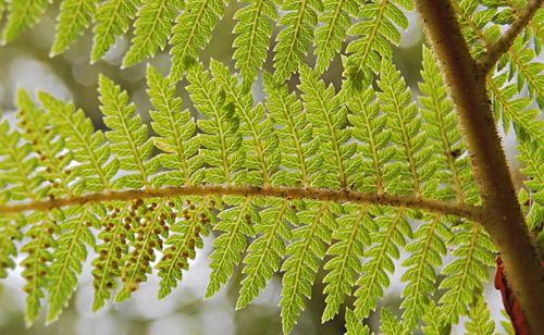 Bracken Fern Spores