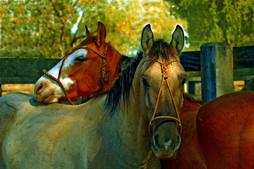 Two horses with leather halters