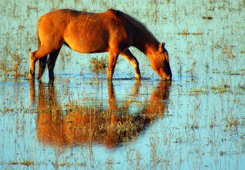 Horse grazing on water plants