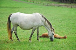 Broodmare Manager